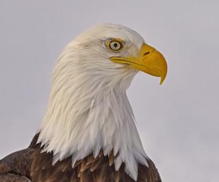 Bald Eagle Head and Shoulders Portrait, Alaska