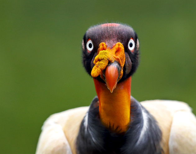 King Vulture, Costa Rica