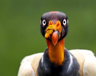 King Vulture, Costa Rica