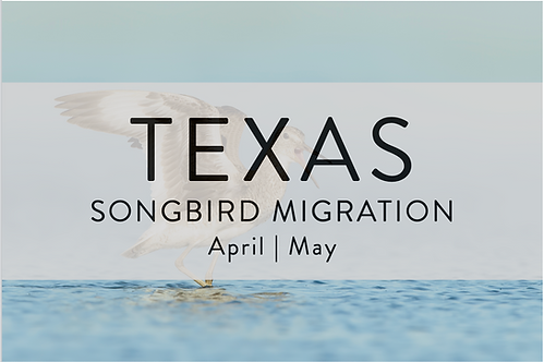 Songbird Migration | Galveston