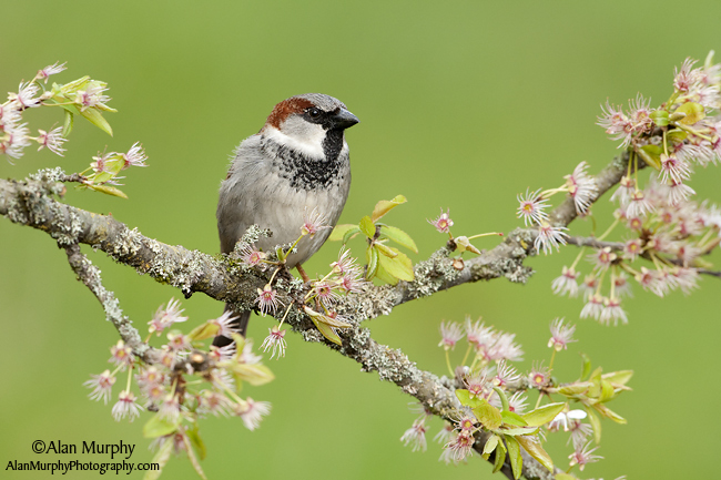 8 | House Sparrow | Victoria | BC | May