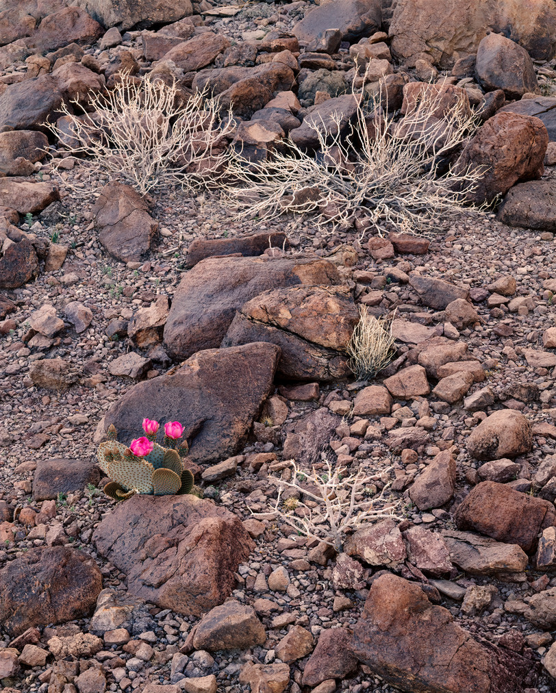 Skeletal Bushes and Cactus Blooms, Arizona