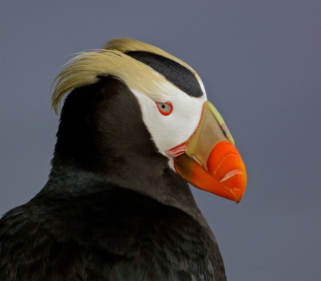Tufted Puffin Portrait, Alaska