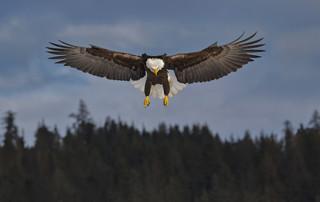 Bald Eagle Over Conifers: Alaska