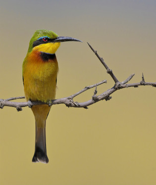 Little Bee-eater, Tanzania