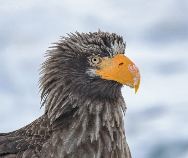 Stellar's Sea Eagle Head and Shoulders Portrait, Hokkaido, Japan