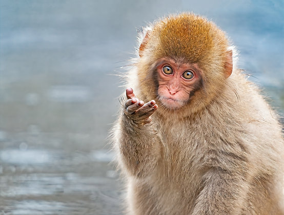 Young Monkey Beckoning