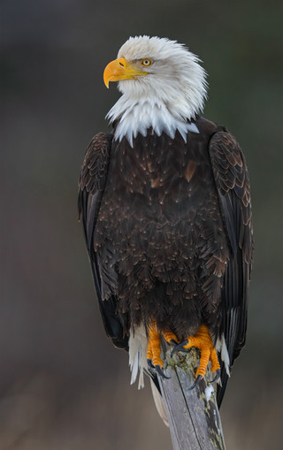Bald Eagle, Head to Talon Portrait, Alaska