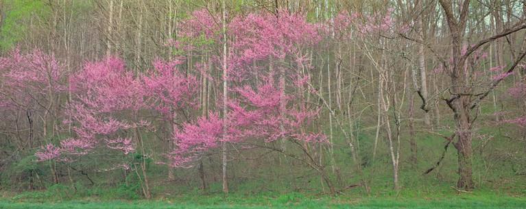 Panorama:  Redbud in Spring, North Carolina