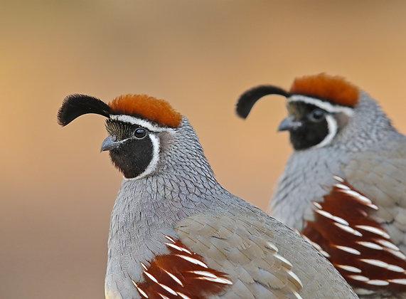 Gambel's Quail Duo