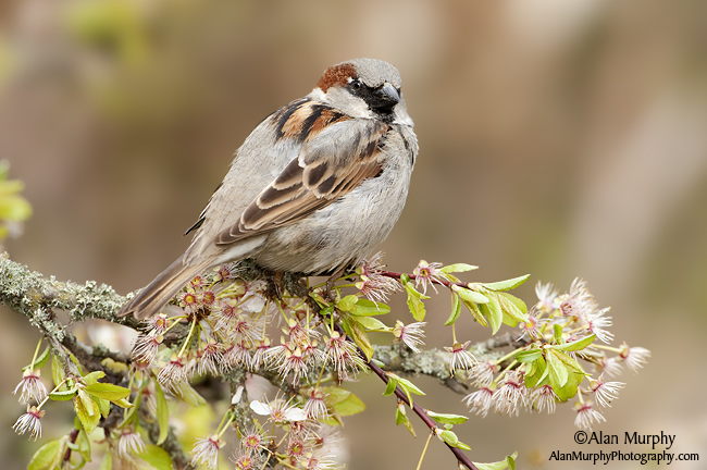 9 | House Sparrow | Victoria | BC | May
