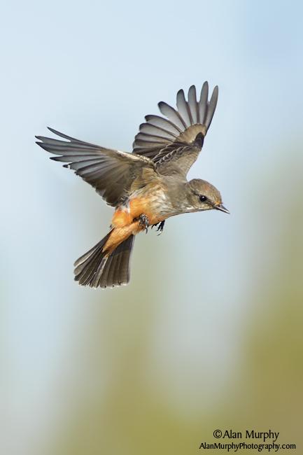 Vermilion-Flycatcher-60.jpg