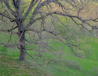 Bur Oak Tree, Vernon County, Wisconsin