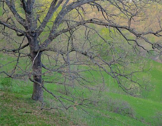Vernon County Bur Oak