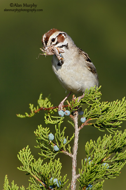 Lark-Sparrow-6.jpg