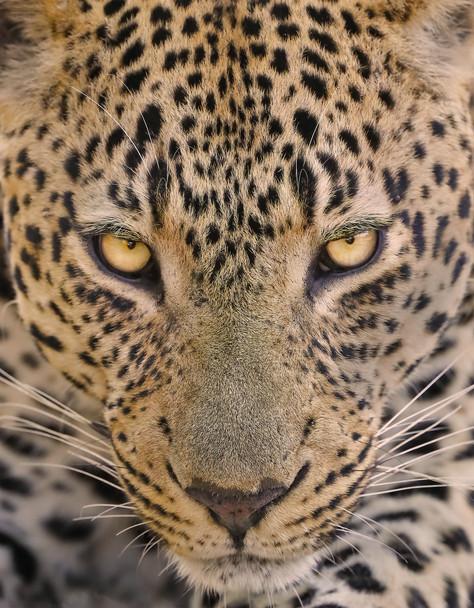 Male Leopard's Gaze, South Africa