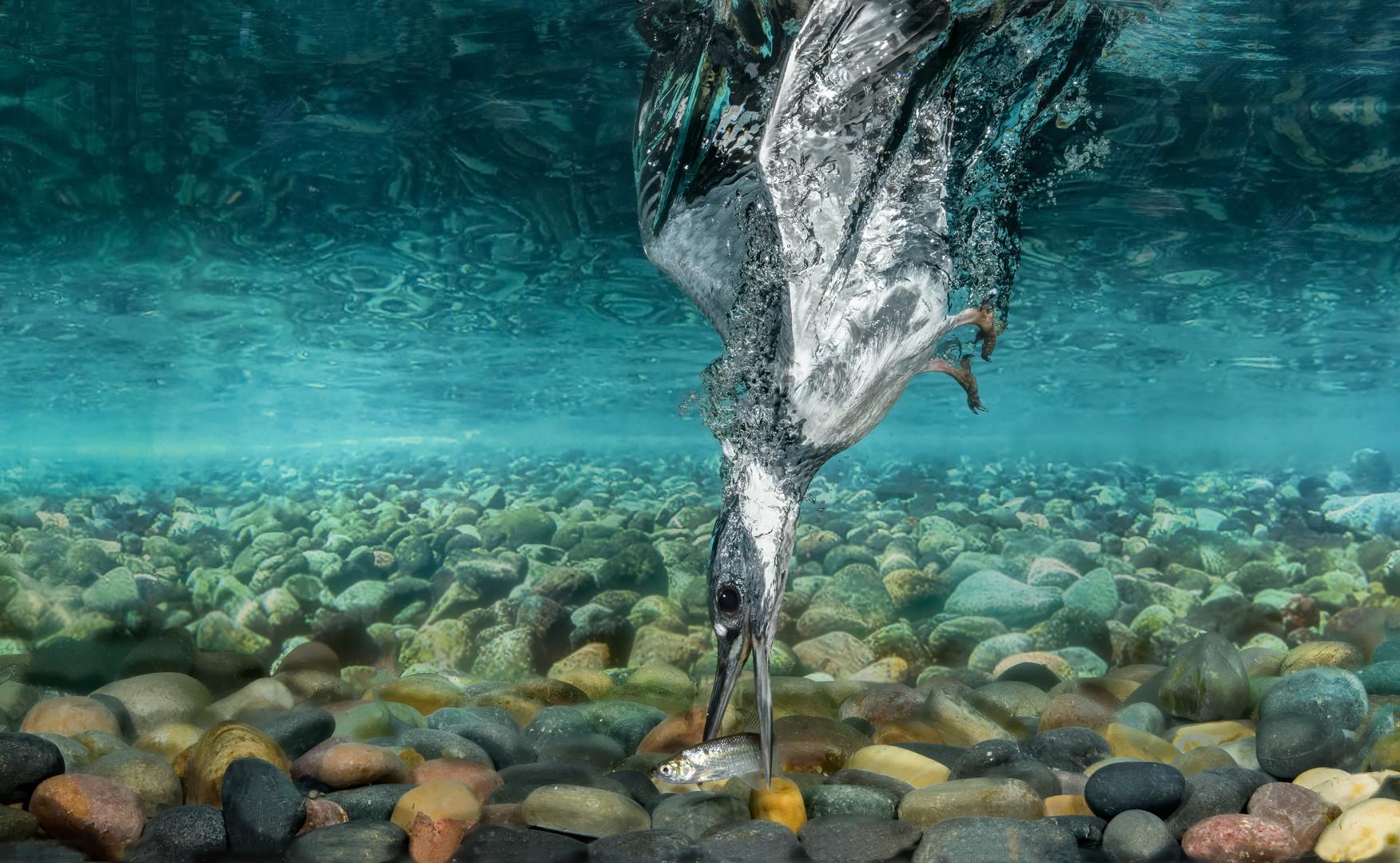 Belted-Kingfisher-90.jpg