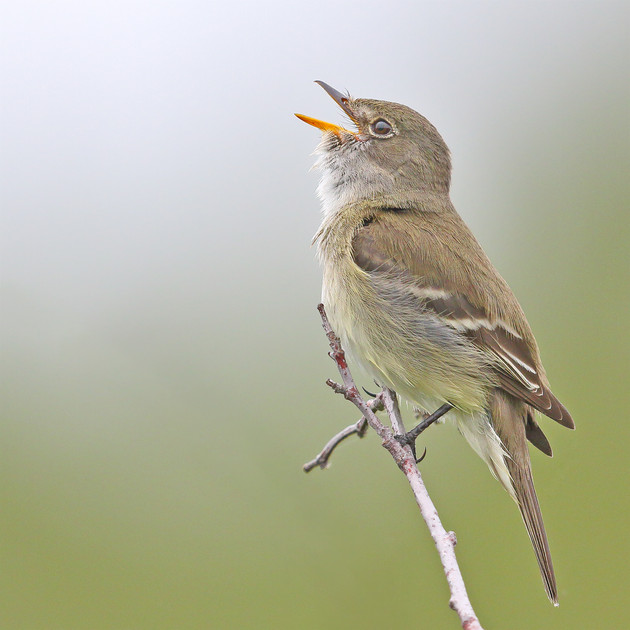 Alder Flycatcher Singing, Alaska