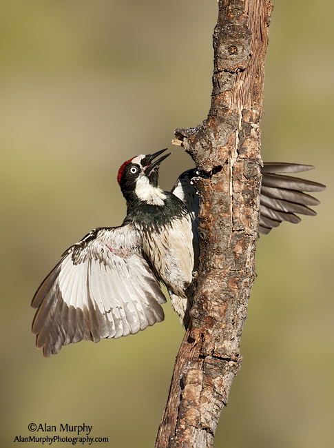 Acorn-Woodpecker-22.jpg