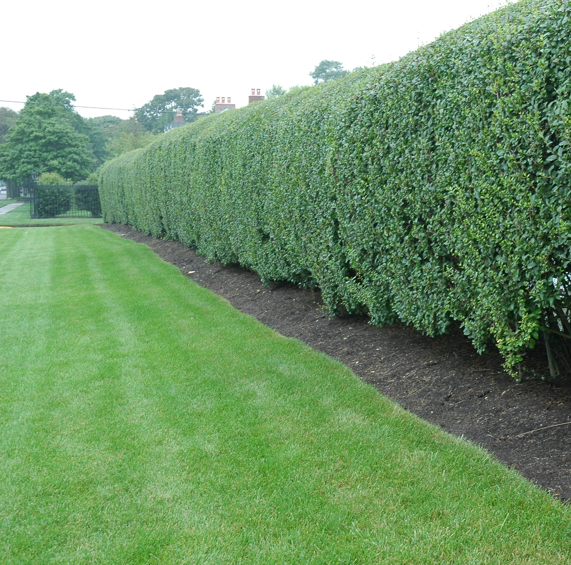 PRIVACY HEDGE