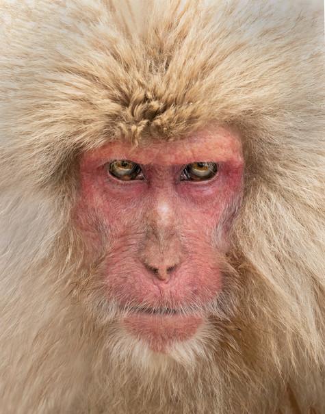 Old Japanese Macaque, Honshu, Japan