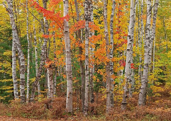 Upper Peninsula White Birch Grove 2