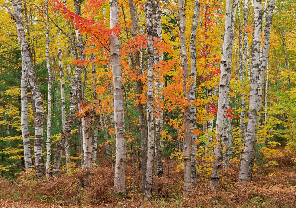Upper Peninsula White Birch Grove Time Lapse #2, Michigan