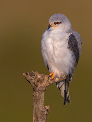 Black-shoulder Kite