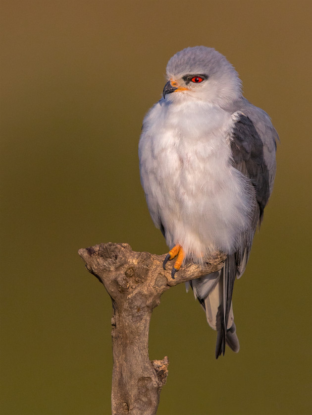 Black-shoulder Kite, Tanzania