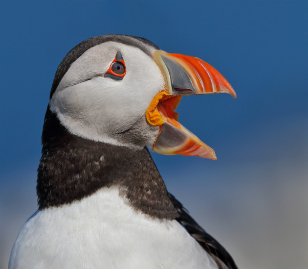 Atlantic Puffin Facing the Sea, United Kingdom