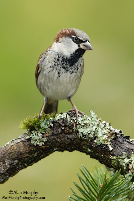 6 | House Sparrow | Victoria | BC | May
