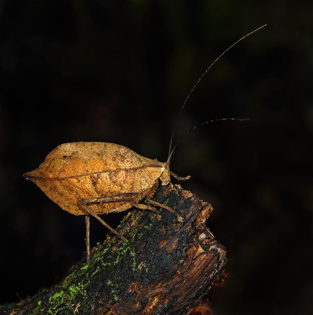 Dead Leaf Mimic Katydid, Costa Rica