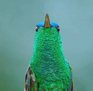 Indigo-capped Hummingbird, Colombia