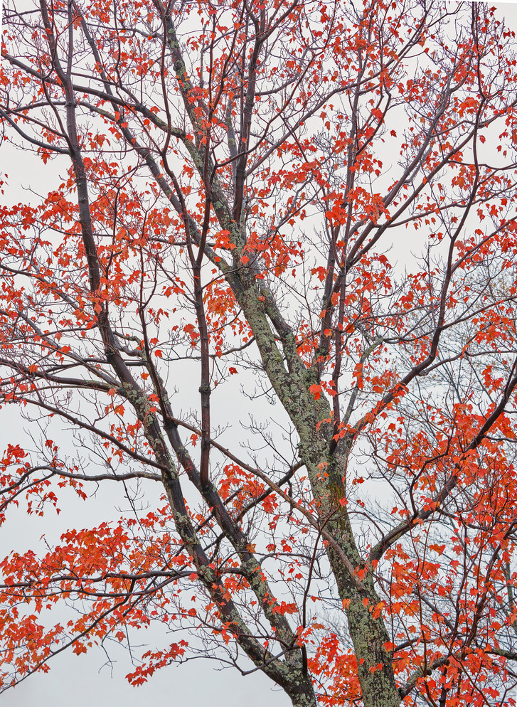 Red Maple Leaves, Michigan