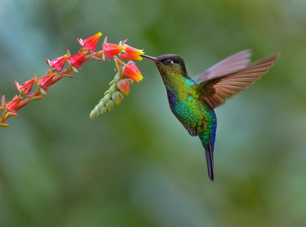 Firey-throated Hummingbird Triptych #3, Costa Rica