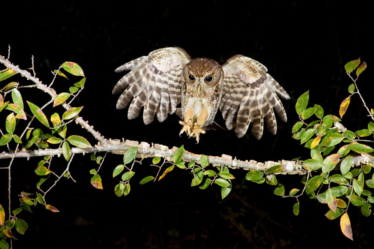 Eastern-Screech-Owl-28.jpg