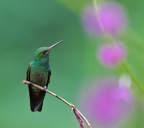 Green-crowned Brilliant Dreaming of Flowers