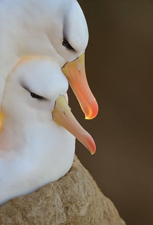 Black-browed Albatross Pair on their Nest, Falkland Islands