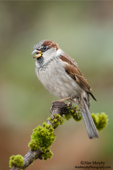 4 | House Sparrow | Victoria | BC | May