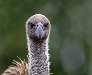 White-backed Vulture Eye to Eye, South Africa