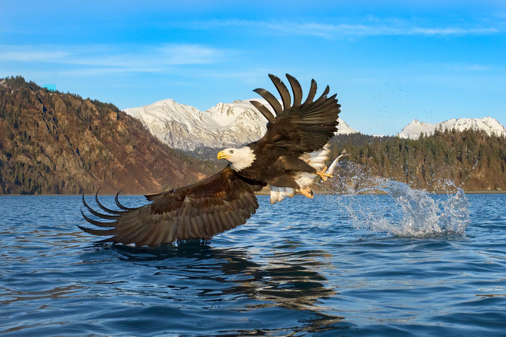 Bald-Eagle-304.jpg