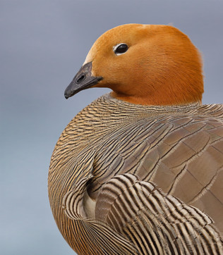 Upland Goose Head and Shoulders Portrait, Falkland Islands