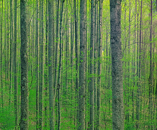Tulip Poplar Forest