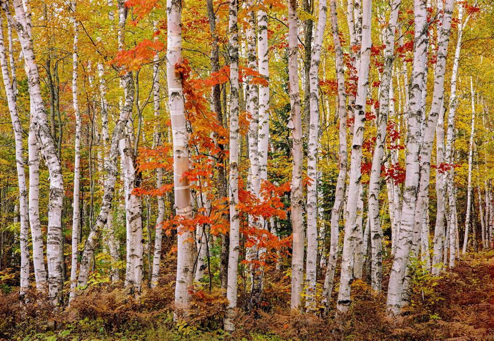 Upper Peninsula White Birch Grove Time Lapse #1, Michigan