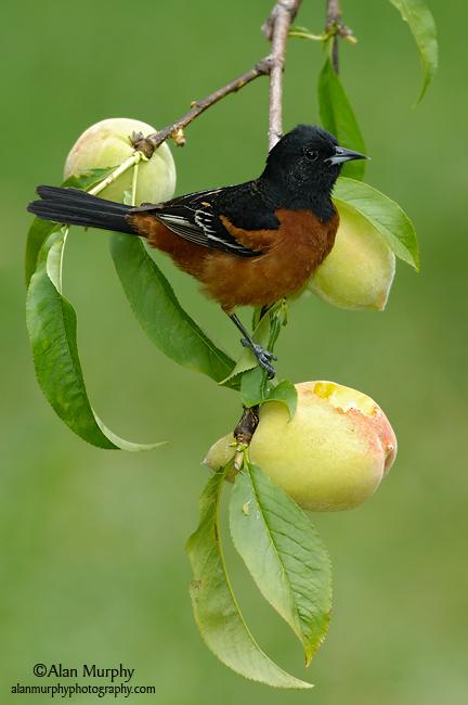 Orchard-Oriole-48.jpg
