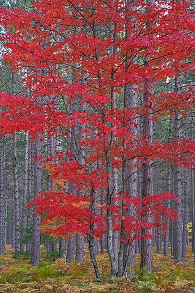 Red Maples Amidst Pines