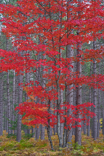 Red Maple Amidst Pines, Michigan