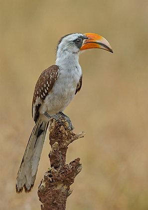 Van der Deckens Hornbill