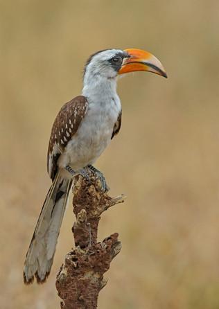 Von der Decken's Hornbill, Tanzania
