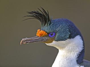 Imperial Cormorant, Falkland Islands